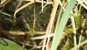 Small froglet